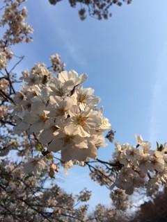 新宿御苑でお花見をしました!